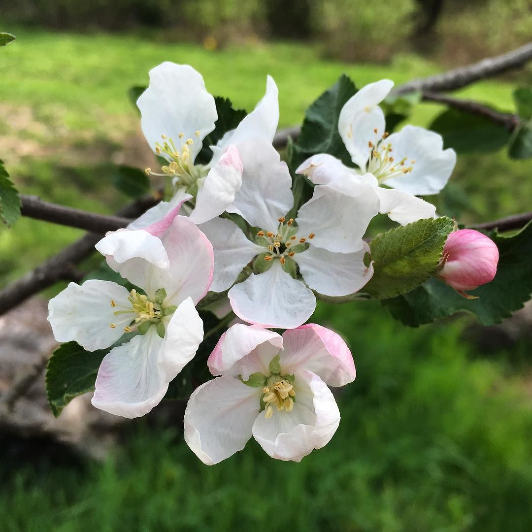 We missed apple blossoms last year. Happy to be here for the full show this time.#springinmaine